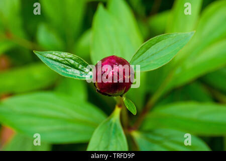 The buds of a beautiful pink peony plant preparing to blossom in north west Italy - Stock Image