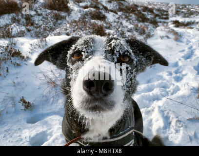 Derbyshire, UK. 17th March 2018 Boarder Collie dog's head covered in ice & snow while walking in the Beast - Stock Image
