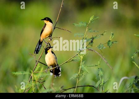 A pair of Black-capped donacobius, Donacobius atricapilla, Pantanal, Mato Grosso, Brazil, South America - Stock Image