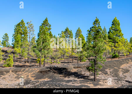 Canary Island Pine (Pinus canariensis) growing in volcanic lava soil environment - Stock Image