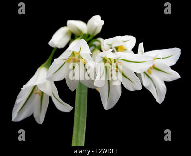Three cornered leek, Allium triquetrum, early spring flowers against a black background - Stock Image