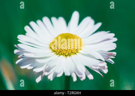 Bud daisy flower on a green background in nature - Stock Image