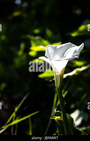 A close-up to a beautiful white flower in the grass. Macro photograph - Stock Image