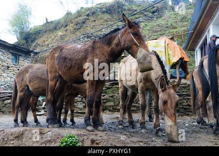 Cargo mules eating from nose bags, Tadapani, Annapurna region, Nepal. - Stock Image