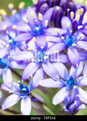 Close up photo of wild blue flowers growing on a meadow in Portugal. - Stock Image