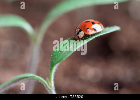 Ladybug crawling on the leaves of a young tomato plant seedling. Blurred background. - Stock Image