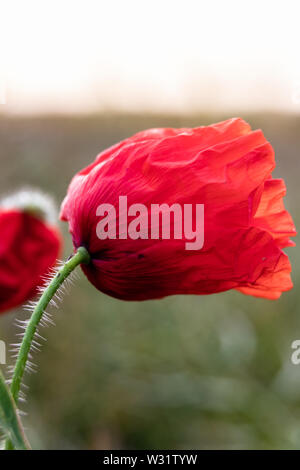 A close up of a poppy flower head - Stock Image