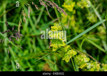 Crosswort Cruciata laevipes, Cressbrook Dale NNR Peak District National Park June 2014 - Stock Image