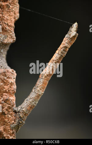 Geometrid moth caterpillar with silk thread mimicking a straight twig on a brick wall - Stock Image