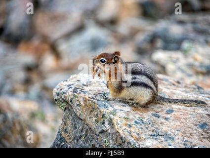 Staring Chipmunk on the Rocks at Moraine Lake, Banff, Alberta, Canada - Stock Image