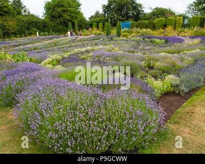 A family group admire rows of multi coloured Lavender plants in full bloom at Yorkshire Lavender Terrington York UK - Stock Image