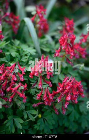 corydalis solida george baker,red flowers,clump forming,spring,flowering,flower,wood,woodland,shade,shady,shaded,RM Floral - Stock Image