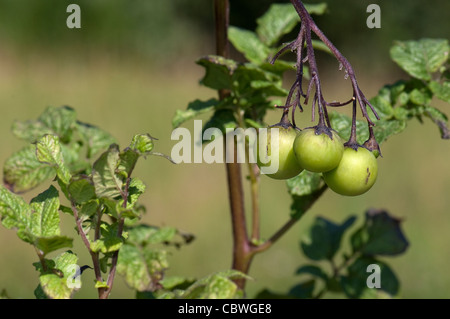 Potato (Solanum tuberosum). Fruit on a plant. - Stock Image