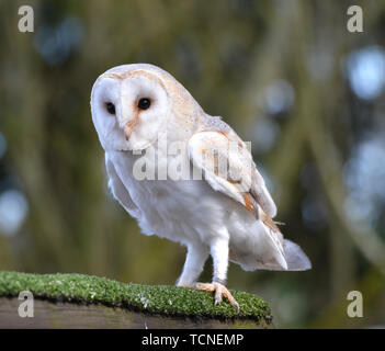 Barn Owl in the flying display at Bird World, Surrey, UK - Stock Image