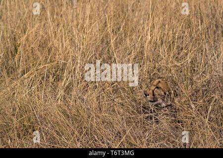 Cheetah (Acinonyx jubatus) camouflaged in dry grass, Khwai conservancy, Okavango, Botswana, August 2018 - Stock Image