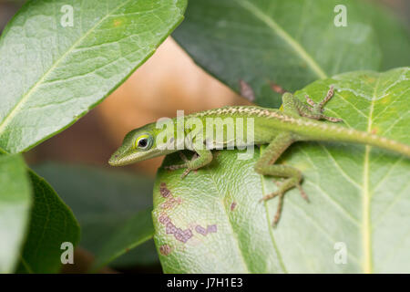 Baby carolina green anole on a leaf - Stock Image
