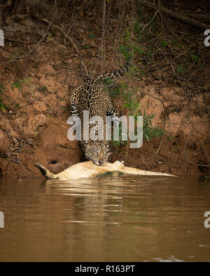 A Jaguar pulling a dead Caiman out of the water in North Pantanal, Brazil - Stock Image