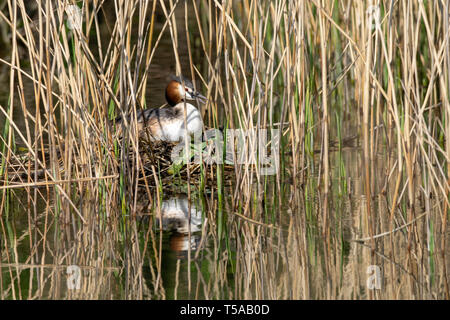 Great crested grebe (Podiceps cristatus) incubating eggs and sitting on nest hidden amongst marshland reeds - Stock Image