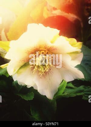 White hellebore flower - Stock Image