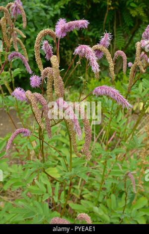 Sanguisorba Hakusanesis 'Lilac Squirrel' in a garden flower border - Stock Image