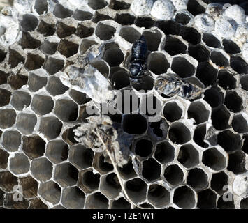 Interior of  Bald faced hornets mest with pupae that did not survive cold weather. Removed from cocoons in brood cells for study. - Stock Image