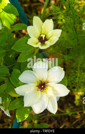 Two flowers on a white clematis plant in north east Italy - Stock Image