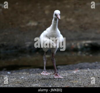 American or Caribbean flamingo chick  (Phoenicopterus ruber) flapping his wings and dancing  - series of 4 images. - Stock Image