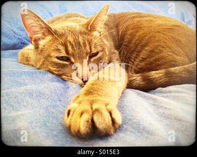 Tabby cat dozing on blue sheets - Stock Image