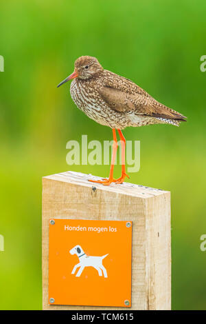 Common redshank tringa totanus wader bird perched on a pole in his habitat, conservation or nature reserve, on a warning sign to keep dogs on a leash  - Stock Image