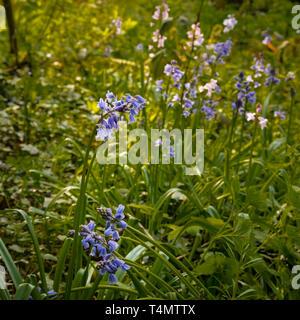 Spring flowering blue Spanish bluebells ( Hyacinthoides hispanica) an English woodland setting. - Stock Image