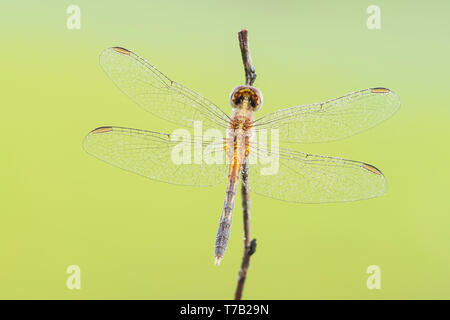 A dew-covered immature male Little Blue Dragonlet (Erythrodiplax minuscula) waits for the sun to heat up wings in the early morning. - Stock Image