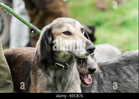 The Barlow Hunt Dog Show - Portrait of a lurcher dog waiting to go into the show ring on a lead - Stock Image