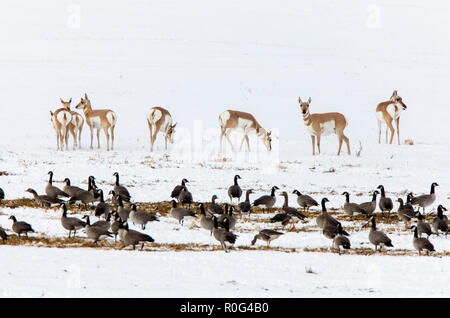 Pronghorn Antelope and Geese winter Saskatchewan Canada - Stock Image