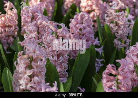 Pink Hyacinthus, Species orientalis, Hyacinth. Attractive spring bulbous flowers. Highly fragrant however the bulbs contain a poison called oxalic aci - Stock Image