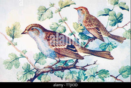 EDITORIAL ONLY  Male and female hedge Sparrows or dunnocks, Prunella modularis.  From a contemporary print, c.1935. - Stock Image