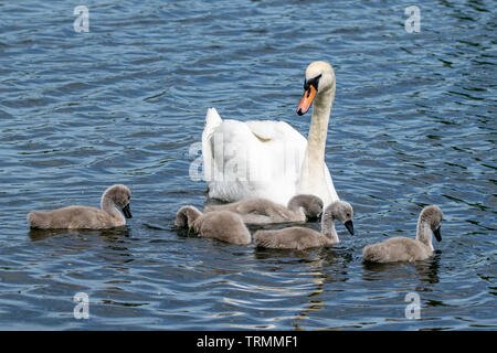 Family of parent mute swan (cygnus olor) and cygnets - Stock Image
