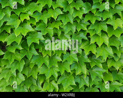 Natural green wall of ivy leaves as a home decoration or wallpaper. Full frame picture. - Stock Image