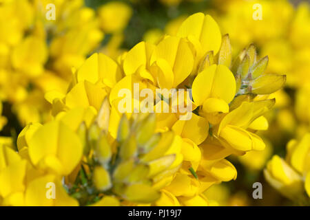 Gorse (ulex europaeus), also known as Furze or Whins, a close up of a cluster of flowers. - Stock Image