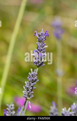 Midsummer flower spikes of the fragrant woolly lavender, Lavandula lanata - Stock Image