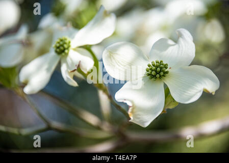 Beautiful white dogwood blossoms announce the coming of spring in Atlanta, Georgia. (USA) - Stock Image