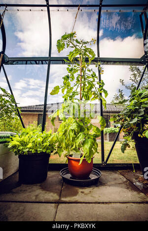 Green tomato plant in a backyard greenhouse growing in a red pot - Stock Image
