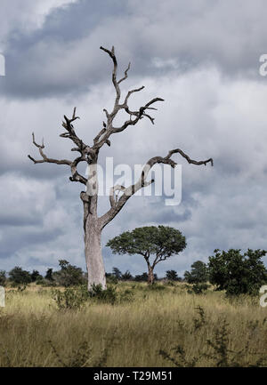 Nature shot on a leafless dead tree, with sinuous branches in dry grass plain against a stormy cloudy sky - Stock Image