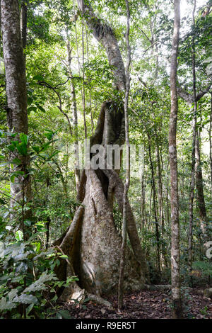 Buttress roots tree in the tropical rainforest, Hypipamee National Park, Atherton Tableland,  Far North Queensland, FNQ, QLD, Australia - Stock Image