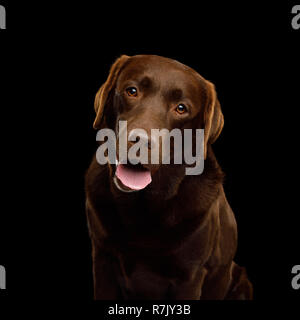 Funny Portrait of Happy Labrador retriever dog Looking in camera and smiling on isolated black background, front view - Stock Image