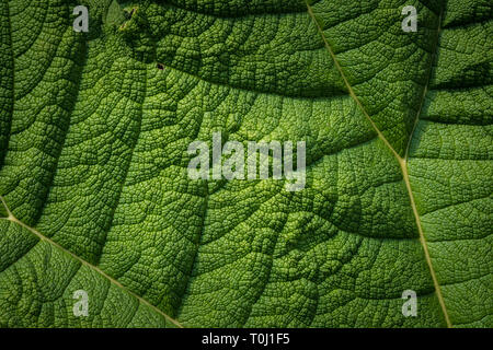 Gunnera - gunnera manicata commonly known as the Brazilian giant-rhubarb in Kew Royal Botanic Gardens, London, United Kingdom - Stock Image
