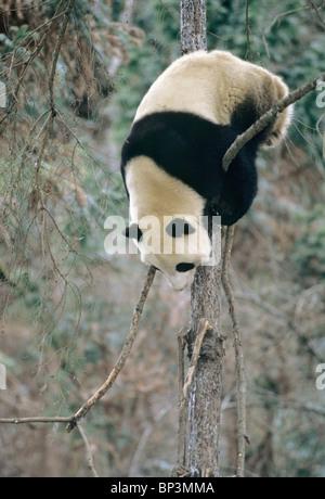 Giant panda climbs down tree in winter, Wolong, China, January - Stock Image