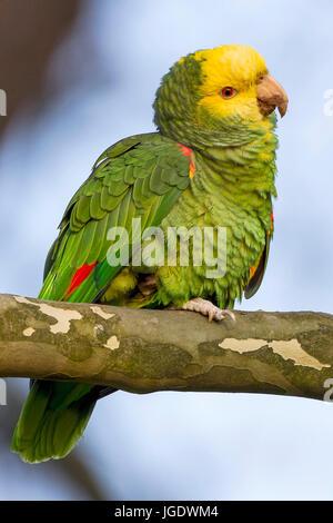 Yellow head amazon, Amazona oratrix, Gelbkopfamazone (Amazona oratrix) - Stock Image