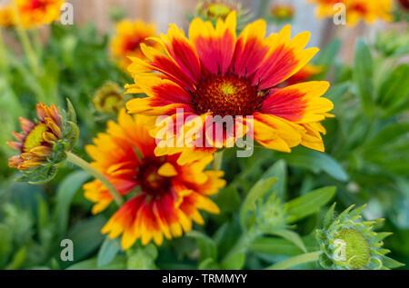 Gaillardia 'Goblin' flowering with red, orange, yellow flowers in a garden. - Stock Image