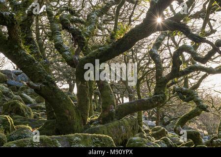 Winter sun shines into Wistman's Wood in Dartmoor National Park, Devon, England. Winter (December) 2017. - Stock Image