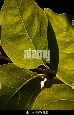 Backlit green leaves - Stock Image